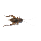1,000 Live Crickets product photo
